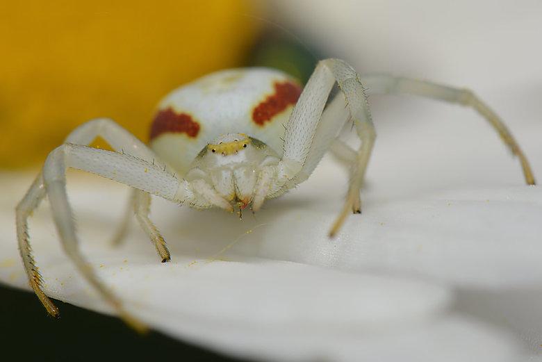 Gewone Kameleonspin (Misumena Vatia) - Kameleonspinnen hebben, zoals de meeste krabspinnen, een relatief klein kopborststuk en een groot, haast bolvor