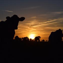 Koeien bij  zonsondergang.