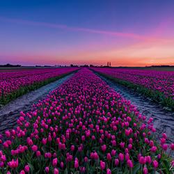 Tulpenveld tijdens zonsopkomst