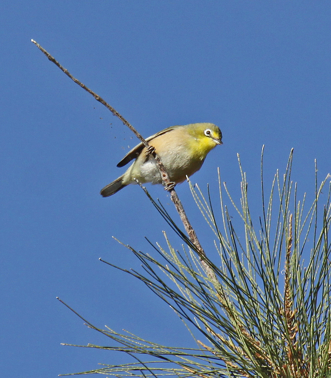 Kaaps Glasogie - Een van de vele fraai gekleurde vogels in Zuidelijk Afrika. In het Nederlands beter bekend als de Kaapse brilvogel en komt veelvuldig