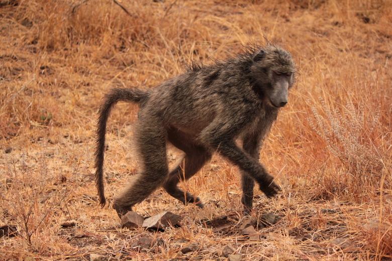 Etenstijd  - Een baviaan trekt zich niks aan van de fotograaf en zet zijn zoektocht naar de lunch voort