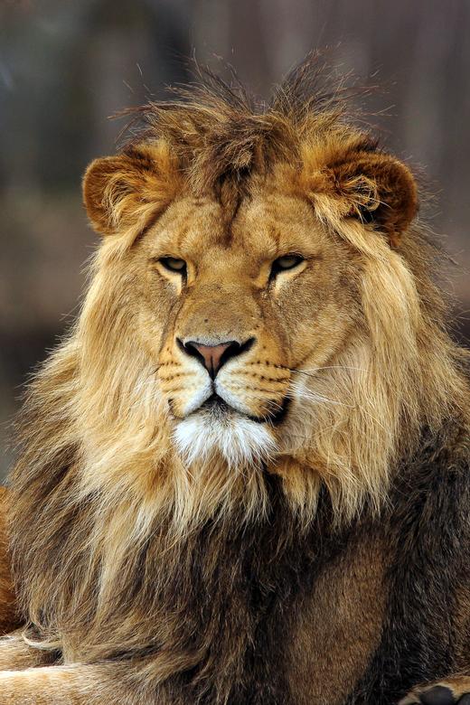 Aankomende koning - Deze 2,5 jaar oude leeuw wordt met de week mooier. Waar wordt hij in de toekomst de koning?