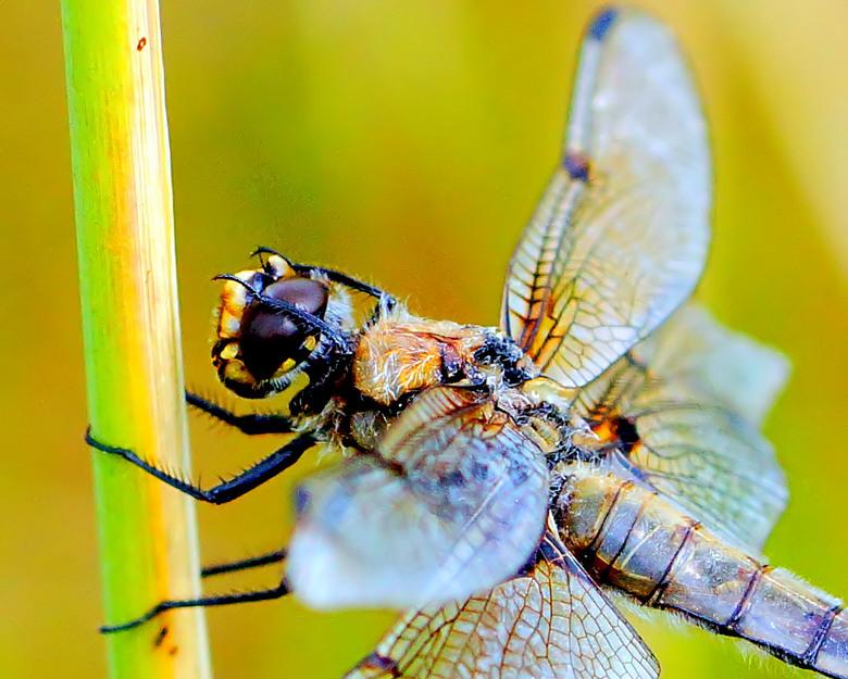 Ruiten wissen na een regenbui.. - Libellen kunnen slecht tegen harde wind of regen. In deze tijd van het jaar kleuren ook veel libellen uit zoals dat
