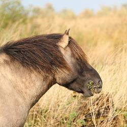 Konikpaard OVP