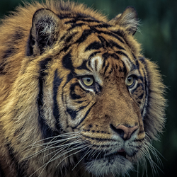 Save The Sumatran Tiger .