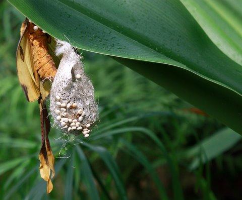 vlinder bezig eieren te leggen - <br /> exotische vlinder met net vol met eieren.