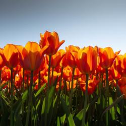 Oranje tulpen ui Holland