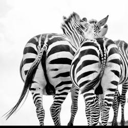 Zebra zwart/wit.  Black&white