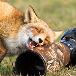 Fox loves camera