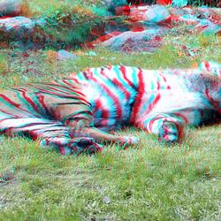 Tiger (Panthera tigris sumatrae) Blijdorp Zoo Rotterdam 3D