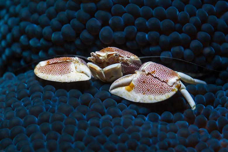 Porcelein Krab