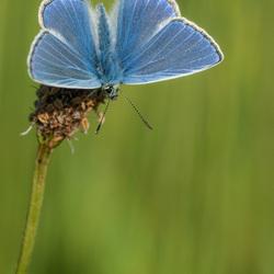 Icarusblauwtje op de uitkijk