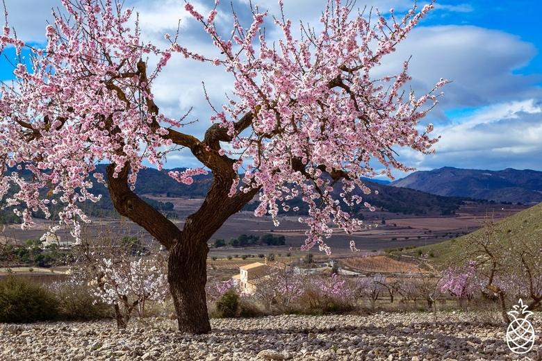 Season of Blossom  - Elk jaar weer genieten wanneer de amandelbomen in bloei komen.<br /> <br /> Hondón de los Frailes. Spanje.