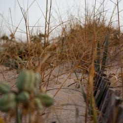 Hekje in de duinen