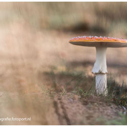 de 'oerpaddenstoel': rood met witte... (2)