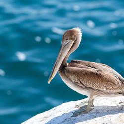 Bruine pelikaan (2)