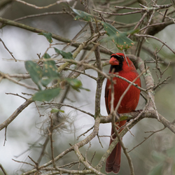 Red Cardinal (Florida)
