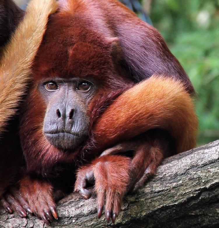 Opgerold  - Deze brul aap zit helemaal op gerold in een boom, <br /> Ze zien er zo knuffelbaar en lief uit, <br /> Maar zijn ze ook knuffelbaar? <br