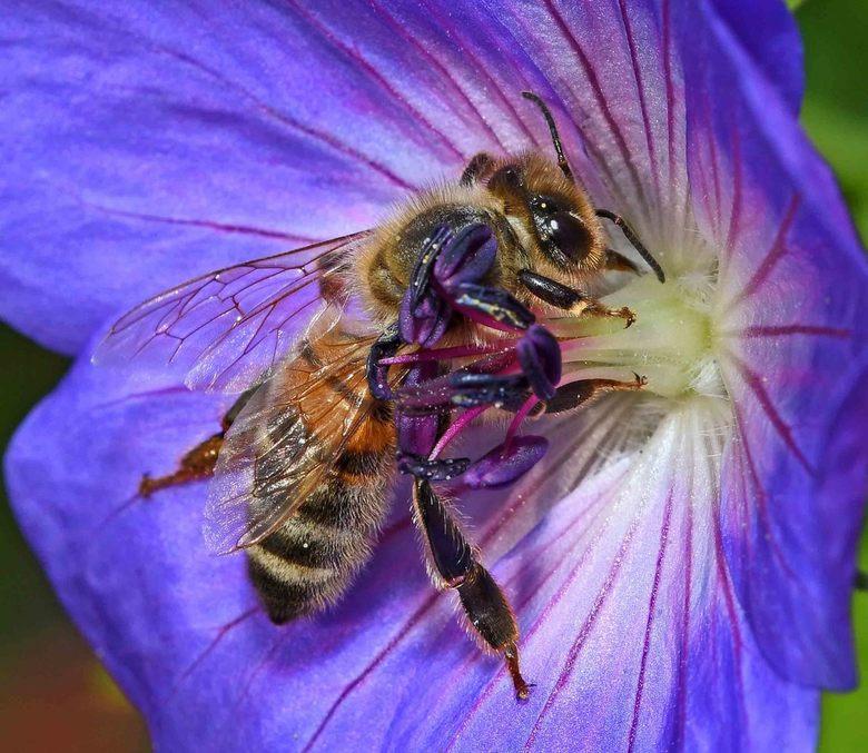 op = op - Honingbijen (Apis mellifera) verzamelen twee bloem-producten, nectar en stuifmeel. <br /> Bloemen vullen de voorraad nectar constant aan. O
