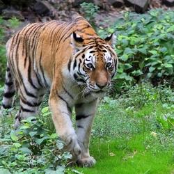 Siberische tijger.
