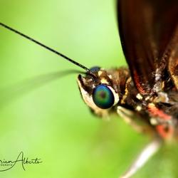 Vlinder close up