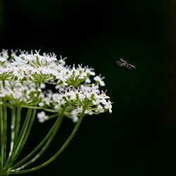Flying around the flowers (2)