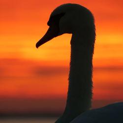 Zwaan bij zonsondergang