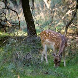 Daar is Bambi