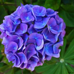 Hortensia bleu deux
