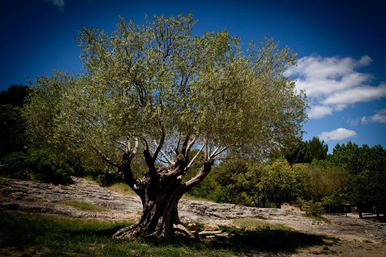 Oude boom - Dit is een hele oude boom