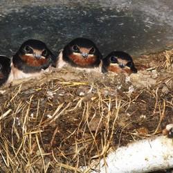 nestje zwaluwen