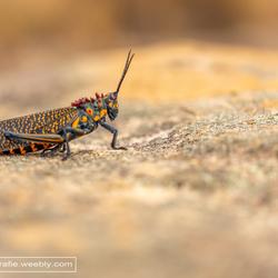 gaudy grasshopper