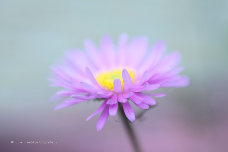 Soft lilac and yellow - Een Lensbaby foto!!