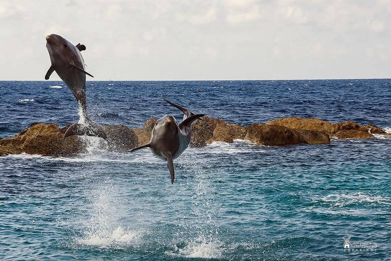 Curacao - Springende dolfijnen in Curacao.