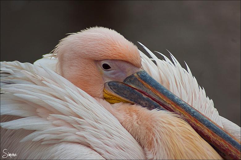 Pelikaan - Een pelikaan die aan het drogen is na een duik in het water.