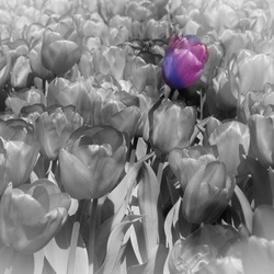 Tulip for the Prince ...