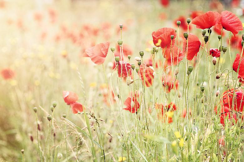 """poppies.jpg - klaprozen, een zonnetje, t lijkt wel zomer <img  src=""""/images/smileys/smile.png""""/>"""