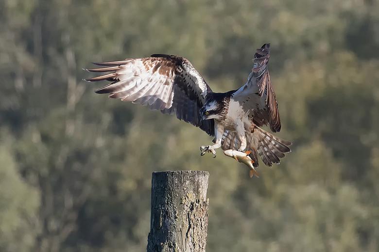 Vers vd pers! - Vandaag genoten van deze prachtige roofvogel, hier komt hij met een maaltijd aanzetten.<br /> <br /> Iedereen bedankt voor de mooie