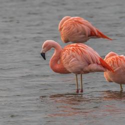 Drie Flamingo's in de Groenzoom