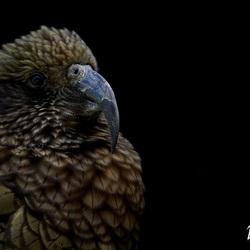 The beautiful Kea