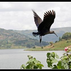 Hadada Ibis 2