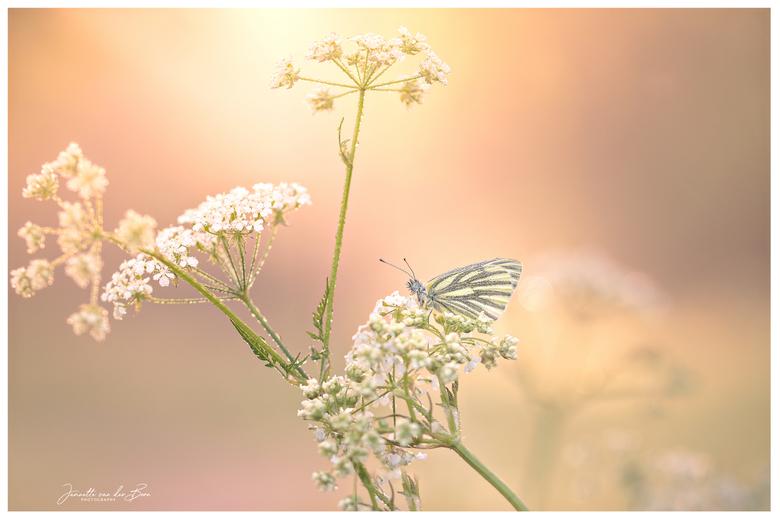 Good Morning - In de vroege ochtend een vlindertje vinden, terwijl het wat mistig is en de zon net opkomt.. dat noem ik een goede morgen!