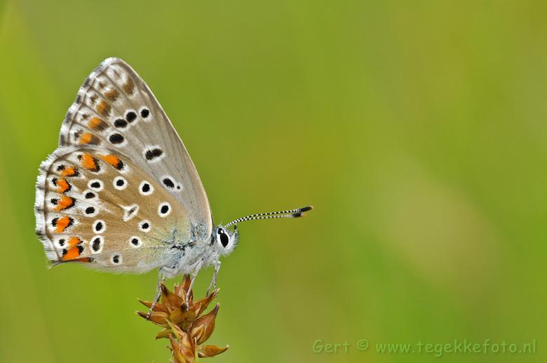Adonisblauwtje - Wederom een vlindertje uit het zomerarchief. Geschoten in de franse Ardeche<br /> <br /> Het adonisblauwtje (polyommatus bellargus)