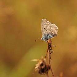 Het is een vlinder en is blauw, bruin.....