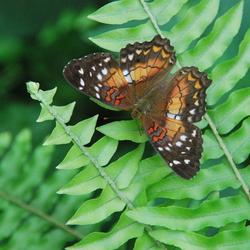vlinder op varen