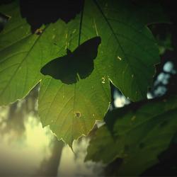 vlinder, avondlicht