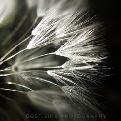 Dandelion. (Paardenbloem)