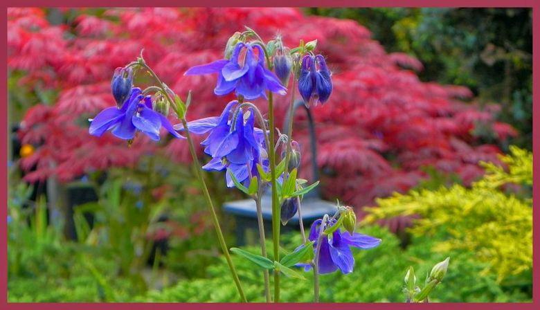 Voorjaar in de tuin - Erg druk met werk, dus heel weinig tijd. De tuin gaf wel ruimte om beelden vast te leggen. Akeleitjes komen bij ons leuk verspre