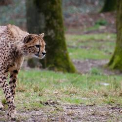 Cheetah gefocust