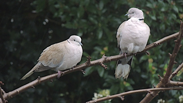 duifjes - duifjes trotseren de regen